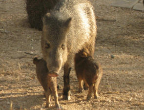 Javalina and babies